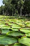 Giant Amazon Water Lilies, Sir Seewoosagur Ramgoolam Botanical Gardens, Mauritius Stock Photo - Premium Royalty-Free, Artist: Arian Camilleri          , Code: 600-03004990