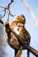 Golden Snub-nosed Monkey Mother and Baby, Qinling Mountains, Shaanxi Province, China                                                                                                                     Stock Photo - Premium Rights-Managednull, Code: 700-03005299
