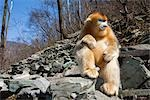 Portrait of Golden Snub-nosed Monkey, Qinling Mountains, Shaanxi Province, China                                                                                                                         Stock Photo - Premium Rights-Managed, Artist: F. Lukasseck             , Code: 700-03005301