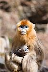 Golden Snub-nosed Monkey Mother and Baby, Qinling Mountains, Shaanxi Province, China                                                                                                                     Stock Photo - Premium Rights-Managed, Artist: F. Lukasseck             , Code: 700-03005318