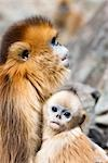 Golden Snub-nosed Monkey Mother and Baby, Qinling Mountains, Shaanxi Province, China Stock Photo - Premium Rights-Managed, Artist: F. Lukasseck             , Code: 700-03005323