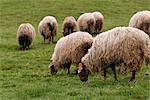 Sheep Grazing in Field, Cantabria, Spain Stock Photo - Premium Royalty-Free, Artist: Mike Randolph            , Code: 600-03015050