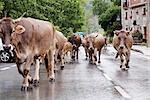 Herd of Cattle on the Road, Cantabria, Spain Stock Photo - Premium Rights-Managed, Artist: Mike Randolph            , Code: 700-03015197