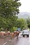 Herd of Cattle on the Road, Cantabria, Spain Stock Photo - Premium Rights-Managed, Artist: Mike Randolph            , Code: 700-03015198