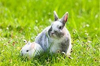 Dwarf Rabbits Stock Photo - Premium Royalty-Freenull, Code: 600-03016842