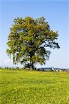 Oak Tree, Polling, Allgau, Bavaria, Germany Stock Photo - Premium Rights-Managed, Artist: F. Lukasseck             , Code: 700-03016907