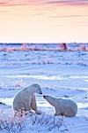 Young Polar Bears, Churchill, Manitoba, Canada Stock Photo - Premium Rights-Managed, Artist: Chris Hendrickson        , Code: 700-03017631