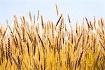 Field of Hard Red Winter Wheat Stock Photo - Premium Rights-Managed, Artist: dk & dennie cody         , Code: 700-03017652