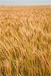 Field of Mature Hard Red Winter Wheat, Colorado, USA Stock Photo - Premium Rights-Managed, Artist: dk & dennie cody         , Code: 700-03017654
