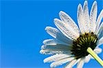 Close-up of Oxeye Daisy                                                                                                                                                                                  Stock Photo - Premium Rights-Managed, Artist: F. Lukasseck             , Code: 700-03018285