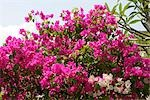 Bougainvillea,Vietnam                                                                                                                                                                                    Stock Photo - Premium Rights-Managed, Artist: Oriental Touch           , Code: 855-03021980