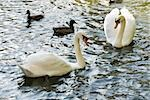 White swans and mallard ducks on pond Stock Photo - Premium Royalty-Free, Artist: Glowimages               , Code: 632-03027517