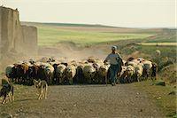 domestic sheep - Shepherd with his flock, near Zamora, Castilla Leon, Spain, Europe                                                                                                                                       Stock Photo - Premium Rights-Managednull, Code: 841-03030229