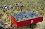 Harvesting grapes in a vineyard in the Rhone Valley, Rhone Alpes, France, Europe                                                                                                                         Stock Photo - Premium Rights-Managed, Artist: Robert Harding Images    , Code: 841-03030331