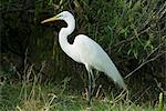 Egret, Everglades National Park, UNESCO World Heritage Site, Florida, United States of America, North America                                                                                            Stock Photo - Premium Rights-Managed, Artist: Robert Harding Images    , Code: 841-03031239