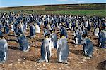 Colony of king penguins (Aptenodytes patagonicus), Volunteer Point, East Falkland, Falkland Islands, South Atlantic, South America                                                                       Stock Photo - Premium Rights-Managed, Artist: Robert Harding Images    , Code: 841-03033765