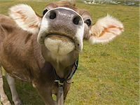 Face of a cow                                                                                                                                                                                            Stock Photo - Premium Rights-Managednull, Code: 859-03036371