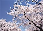 Cherry Blossoms                                                                                                                                                                                          Stock Photo - Premium Rights-Managed, Artist: Aflo Relax               , Code: 859-03036603