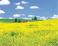 Rolling Hills Of Yellow Flowers                                                                                                                                                                          Stock Photo - Premium Rights-Managednull, Code: 859-03036649