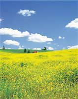 Rolling Hills Of Yellow Flowers                                                                                                                                                                          Stock Photo - Premium Rights-Managednull, Code: 859-03036650