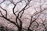Cherry blossoms                                                                                                                                                                                          Stock Photo - Premium Rights-Managed, Artist: Aflo Relax               , Code: 859-03037940