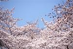 Cherry blossoms                                                                                                                                                                                          Stock Photo - Premium Rights-Managed, Artist: Aflo Relax               , Code: 859-03037941