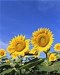Giant sunflowers                                                                                                                                                                                         Stock Photo - Premium Rights-Managed, Artist: Aflo Relax               , Code: 859-03039919