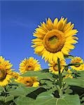Giant sunflowers                                                                                                                                                                                         Stock Photo - Premium Rights-Managed, Artist: Aflo Relax               , Code: 859-03039920