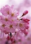 Sakura (Cherry Blossom)                                                                                                                                                                                  Stock Photo - Premium Rights-Managed, Artist: Aflo Relax               , Code: 859-03042386