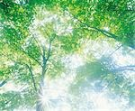 Light Gleaming Through Tree Branches                                                                                                                                                                     Stock Photo - Premium Rights-Managed, Artist: Aflo Relax               , Code: 859-03042907