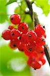 Currants Stock Photo - Premium Royalty-Free, Artist: Jean-Christophe Riou     , Code: 600-03054008