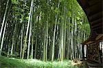 Bamboo forest, Hokokuji temple garden, Kamakura, Kanagawa prefecture, Japan, Asia