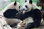 Giant panda eating bamboo at Chengdu Panda Reserve, Sichuan Province, China, Asia                                                                                                                        Stock Photo - Premium Rights-Managed, Artist: Robert Harding Images    , Code: 841-03056065