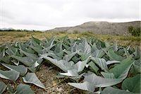 Close-up of Desert Plants, Presidio, Presidio County, Texas, USA Stock Photo - Premium Royalty-Freenull, Code: 600-03059335