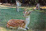 Fallow deer (Dama dama)                                                                                                                                                                                  Stock Photo - Premium Rights-Managed, Artist: Robert Harding Images    , Code: 841-03063608