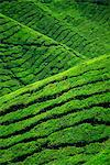 Rows of tea bushes at the Sungai Palas Estate in the Cameron Highlands in Perak Province, centre of tea production in Malaysia, Southeast Asia, Asia