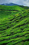 The Sungai Palas Estate, Cameron Highlands, Perak, Malaysia, Southeast Asia, Asia
