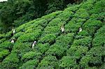Tea pickers at the Sungai Palas Estate, Cameron Highlands, Perak, Malaysia, Southeast Asia, Asia