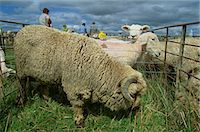Sheep at the Mayfield Country Show on the Canterbury Plains, South Island, New Zealand, Pacific                                                                                                          Stock Photo - Premium Rights-Managednull, Code: 841-03067738