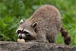 Raccoon Eating Egg Stock Photo - Premium Royalty-Free, Artist: Christina Krutz          , Code: 600-03067860