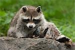 Raccoon Stock Photo - Premium Royalty-Free, Artist: Christina Krutz          , Code: 600-03067861