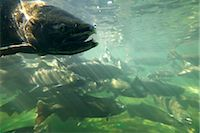 Chinook Salmon Stock Photo - Premium Rights-Managednull, Code: 700-03068748