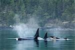 Killer Whales, Johnstone Strait, British Columbia, Canada Stock Photo - Premium Rights-Managed, Artist: Jamie Scarrow            , Code: 700-03068751