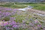 Broad-leaved Willowherb and Soper River, Katannilik Territorial Park Reserve, Baffin Island, Nunavut, Canada Stock Photo - Premium Royalty-Free, Artist: J. David Andrews         , Code: 600-03068802
