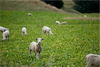 Sheep, South Island, New Zealand Stock Photo - Premium Royalty-Freenull, Code: 600-03075138