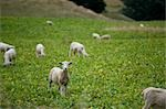 Sheep, South Island, New Zealand Stock Photo - Premium Royalty-Free, Artist: Mark Downey              , Code: 600-03075138