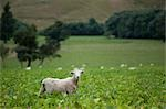 Sheep, South Island, New Zealand Stock Photo - Premium Royalty-Free, Artist: Mark Downey              , Code: 600-03075141