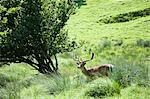 Deer in Field, Salzburg, Austria Stock Photo - Premium Rights-Managed, Artist: Bryan Reinhart           , Code: 700-03075384