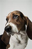 Basset hound Stock Photo - Premium Royalty-Freenull, Code: 614-03080426
