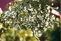 Mistletoe Stock Photo - Premium Royalty-Freenull, Code: 632-03083543